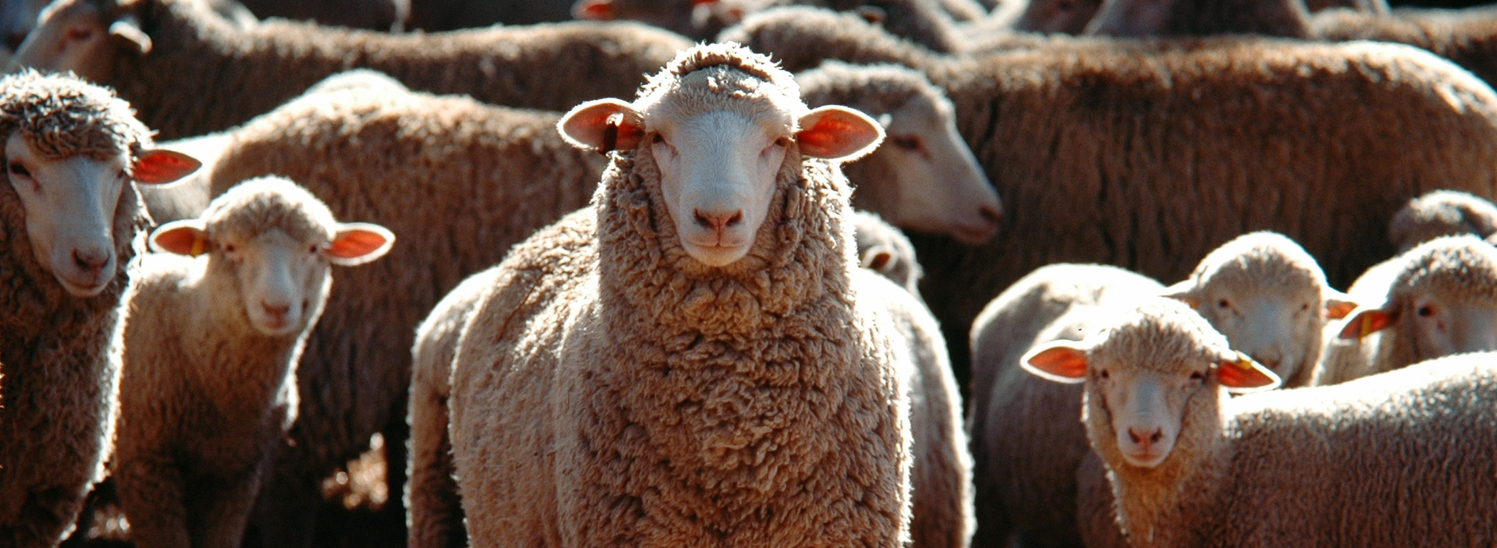 A selective focus shot of a bunch of domestic sheep